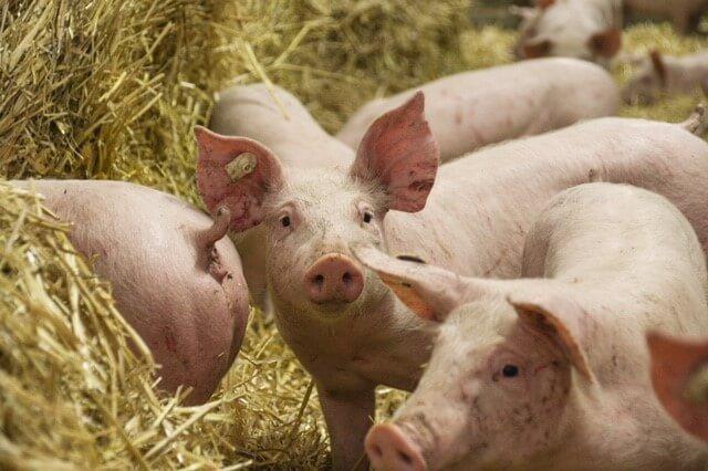 Fleisch vom Strohschwein von Bauers Hofladen